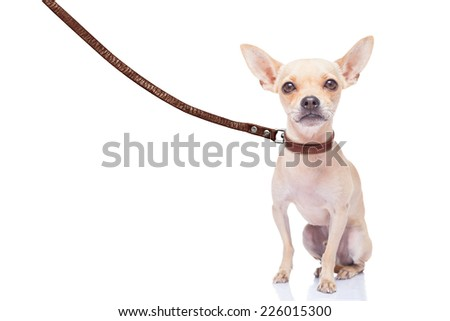 chihuahua dog ready for a walk with owner , with leather leash, isolated on white background - stock photo