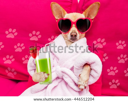 chihuahua dog relaxing  and lying, in   spa wellness center ,wearing a  bathrobe and funny sunglasses drinking a  green smoothie cocktail - stock photo