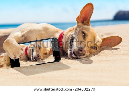 chihuahua dog  relaxing and resting , lying on the sand at the beach on summer vacation holidays,while taking a selfie for friends - stock photo