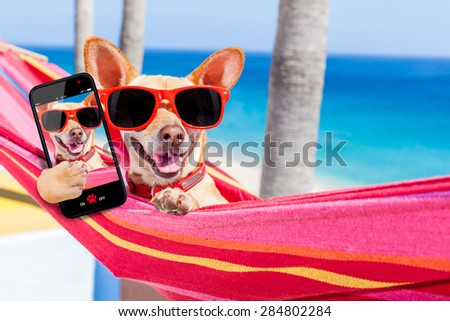 chihuahua dog relaxing on a fancy red  hammock taking a selfie and sharing the fun with friends, on summer vacation holidays - stock photo