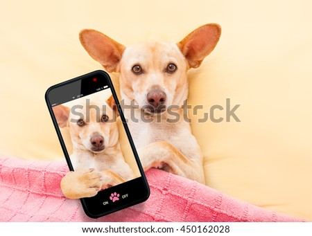 chihuahua dog  resting and relaxing in bed under blanket taking a selfie with smartphone
