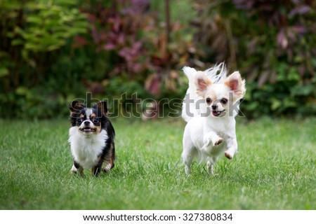 Chihuahua dog running on the green grass - stock photo