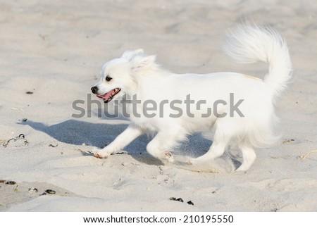 Chihuahua Dog runs on beach  - stock photo