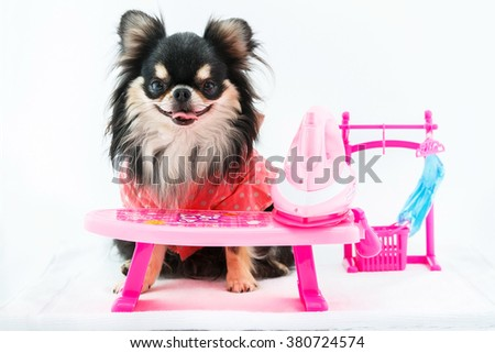 Chihuahua dog sitting on a white background and the ironing. - stock photo