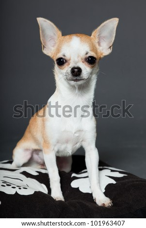 Chihuahua dog sitting on pillow isolated on grey background. Very small. Little. Studio shot.