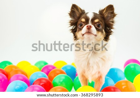 Chihuahua dog standing on a white background with many multicolored balls.