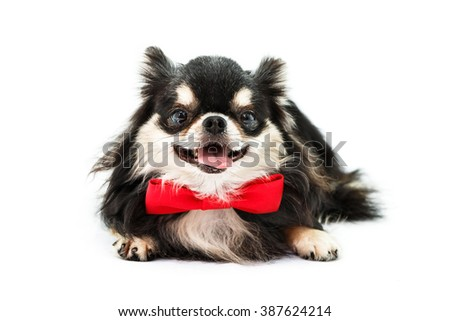 Chihuahua dog tied red bow at the neck and sat at the ground on a white background. - stock photo