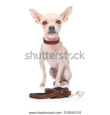 chihuahua dog waiting for a walk with owner and leash - stock photo