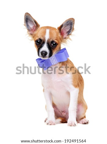 chihuahua dog  wearing violet bow tie