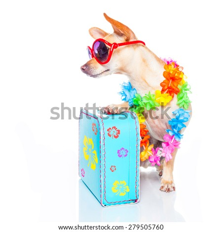 chihuahua dog with bags and luggage or baggage, ready for summer vacation holidays , looking to the side , empty space, isolated on white background - stock photo