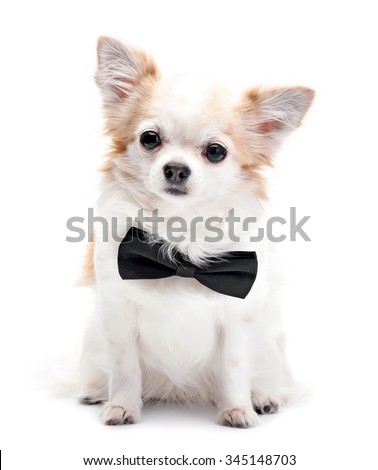Chihuahua dog  with black bow tie isolated on white background