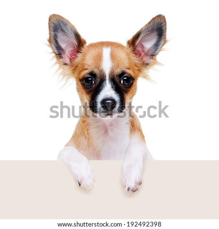 chihuahua dog with blank board