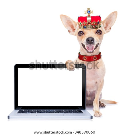 chihuahua  dog with crown   - stock photo