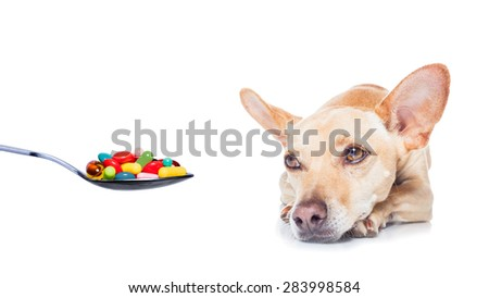chihuahua dog  with  headache and sick , ill or with  high fever, suffering ,vitamins , pills and tablets on its way,  isolated on white background