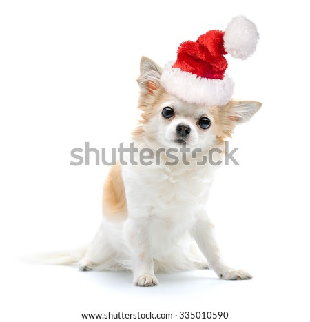 Chihuahua dog with Santa hat on white background  - stock photo