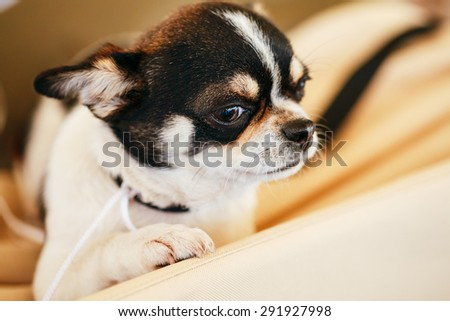 Chihuahua dog, 1.5 years old, sitting on a pet bed - stock photo
