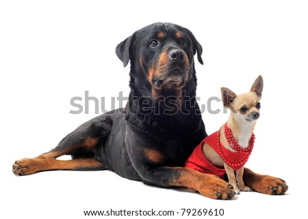 chihuahua dressed and rottweiler in front of white background