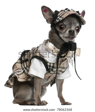 Chihuahua dressed in plaid outfit sitting in front of white background - stock photo