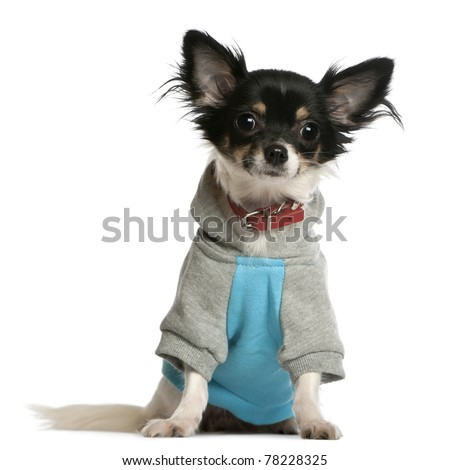 Chihuahua dressed in sweatshirt hoodie, 9 months old, sitting in front of white background - stock photo