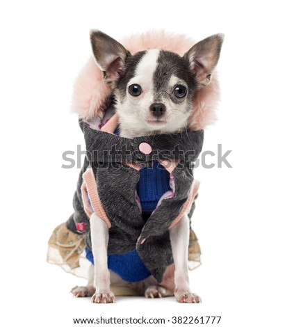 Chihuahua dressed, sitting and looking at the camera, isolated on white (3 years old)