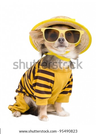 Chihuahua dressed with t-shirt,  straw hat and sun glasses