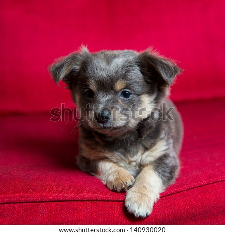 Chihuahua gray long hair puppy dog sitting on red couch relaxed portrait - stock photo
