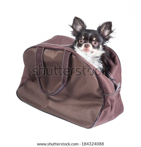 Chihuahua in a bag isolated on white background - stock photo