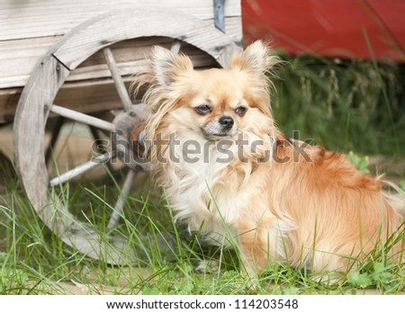 Chihuahua in a garden - stock photo