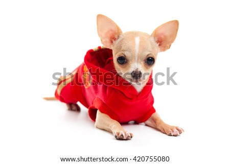 Chihuahua in a red suit