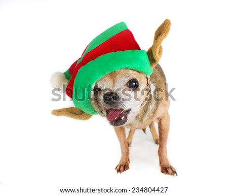 chihuahua in a santa hat with tongue sticking out (shallow depth of field)