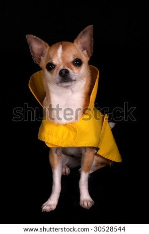 Chihuahua in a yellow raincoat - stock photo