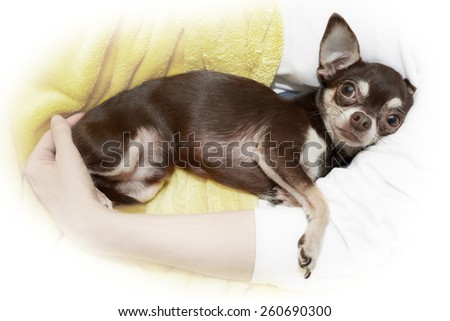 Chihuahua in cuddle - stock photo