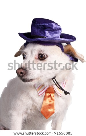 chihuahua in halloween costume - stock photo