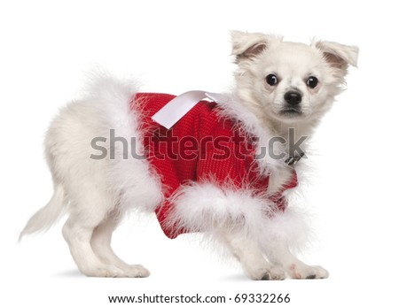 Chihuahua in red sweater, 17 months old, standing in front of white background - stock photo