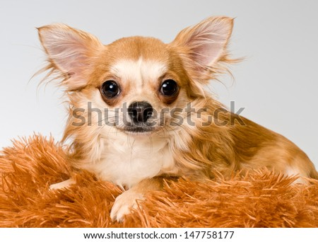 Chihuahua in studio on a neutral background