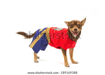 chihuahua in Thai boxing (muay Thai) uniform - stock photo