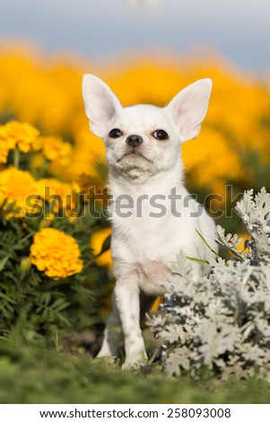 Chihuahua in the Park on the grass