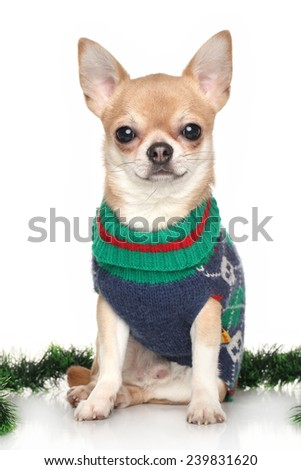 Chihuahua in winter clothes near green garland on white background - stock photo