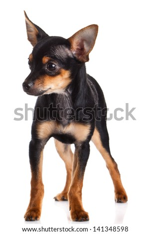 chihuahua isolated on white background. dog