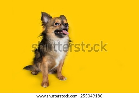 Chihuahua isolated on yellow background - stock photo