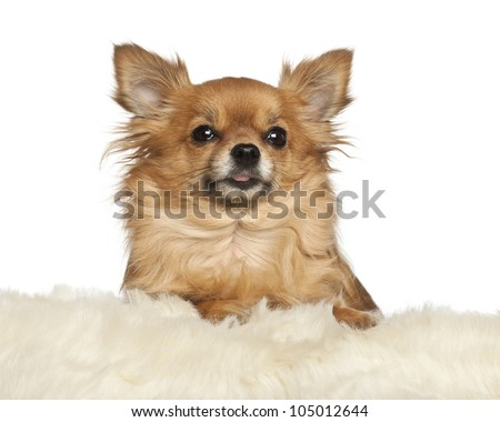 Chihuahua leaning on fur cushion against white background - stock photo