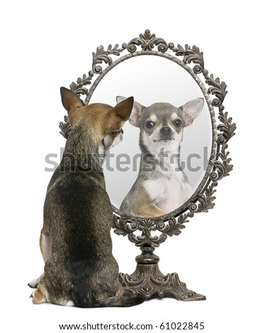 Chihuahua looking in mirror in front of white background - stock photo
