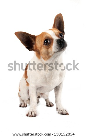 Chihuahua looking up on the white background in the studio - stock photo