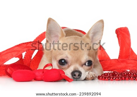 Chihuahua lying in a red ribbon on white background - stock photo