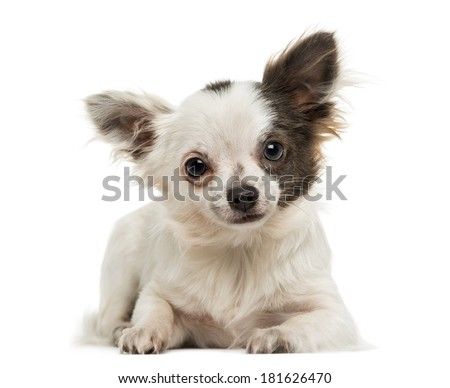 Chihuahua lying, looking at the camera, isolated on white