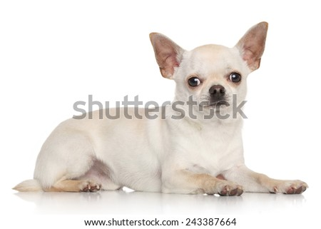 Chihuahua lying on a white background - stock photo