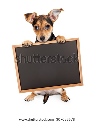 Chihuahua Mixed Breed Three Month Old Puppy holding blank chalk board to enter your marketing message onto - stock photo
