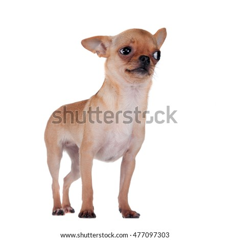 Chihuahua, 7 month old, on the white background