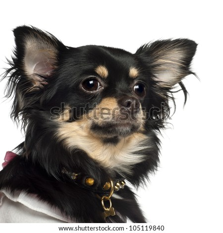 Chihuahua, 10 months old, against white background - stock photo