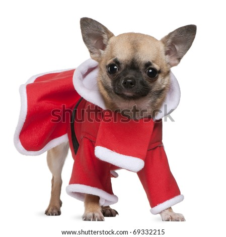 Chihuahua, 11 months old, in Santa outfit, standing in front of white background - stock photo